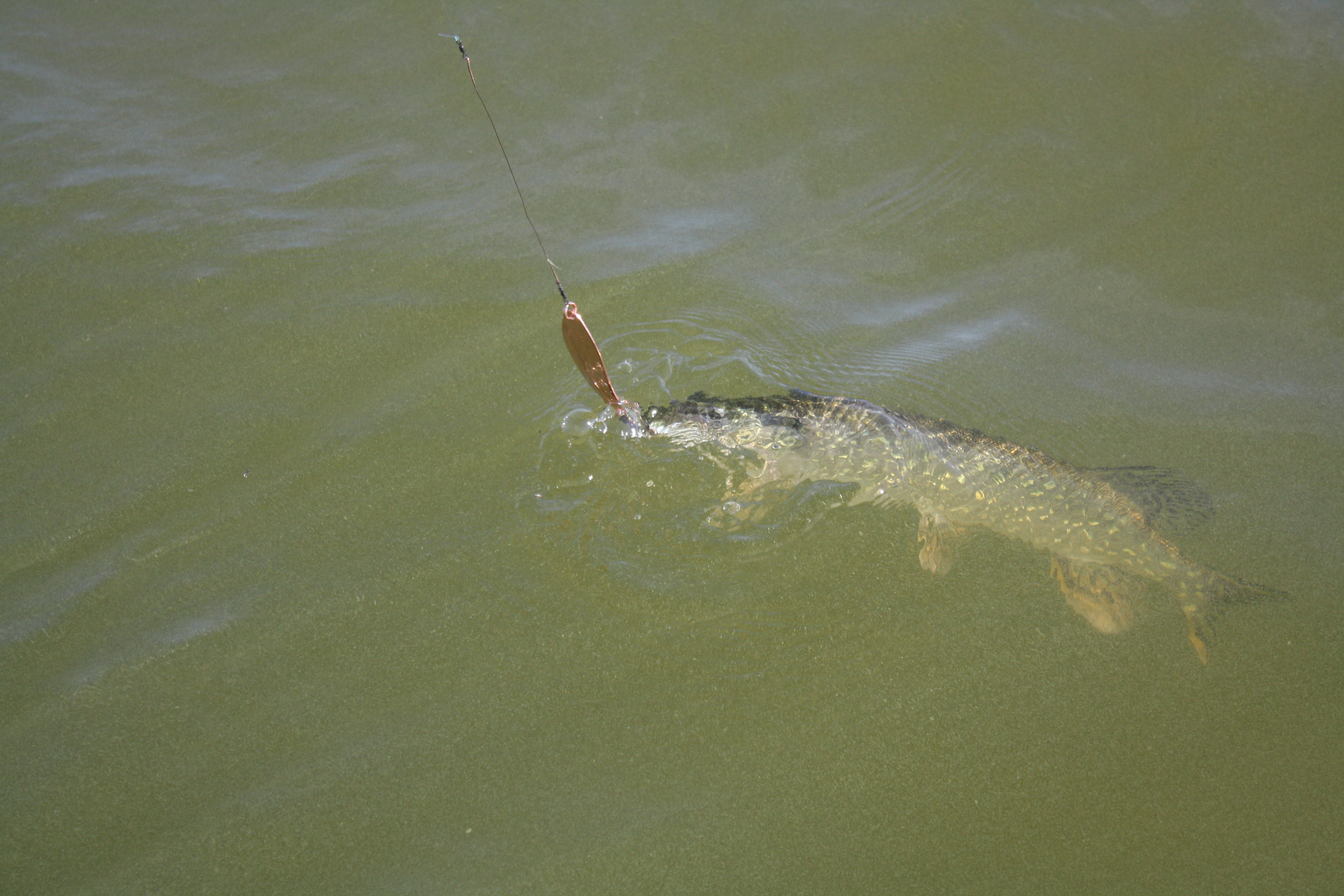 Water temperatures play a key role in the Connecticut River backwaters during springtime. If it's too cold the pike are sluggish, too warm and the pike go on the move. Ideally, pike fishermen look for 50 degree water with a light southwest breeze rippling the surface.