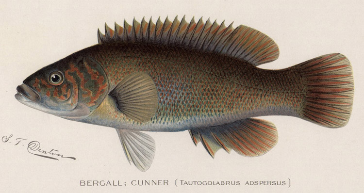 One man's trash fish is another mans treasure. Bergalls (A.K.A. cunner) are a favorite food for whopper fluke, and they're easy to find.